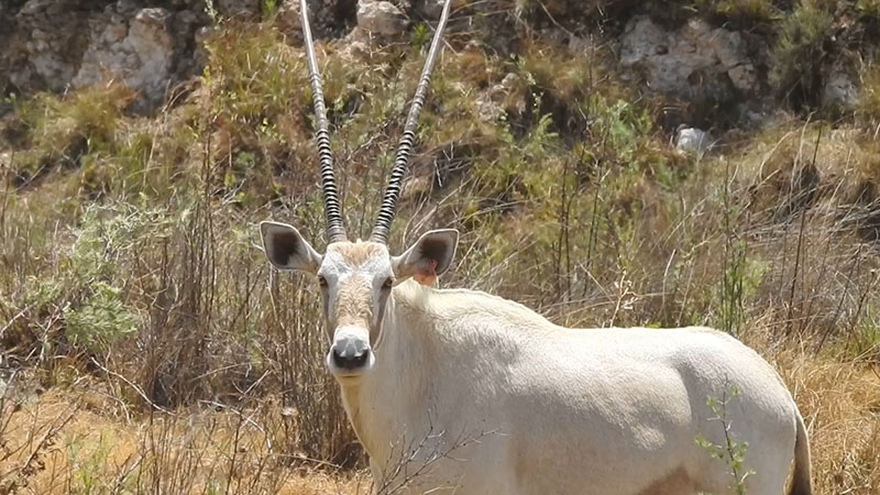On Auction: Oryx Cows